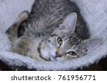 beautiful brown tabby kitten... | Shutterstock . vector #761956771