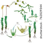 moss life cycle. diagram of a... | Shutterstock .eps vector #762029344