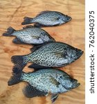 crappie fish displayed on wood...   Shutterstock . vector #762040375