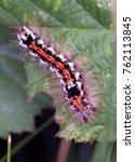 brown tail moth caterpillar  ... | Shutterstock . vector #762113845