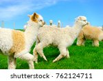 Alpaca On Green Field