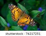 American Lady Butterfly ...