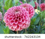 Pink Dahlia Flower Closeup