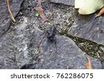 Small photo of A whip scorpions ( Thelyphonidae ) on the ground. It is a kind of arachnida animal.