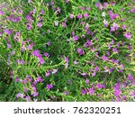 false heather or elfin herb | Shutterstock . vector #762320251