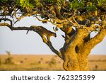 Leopard Rests In A Tree After...