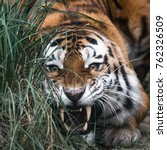 big siberian tiger hunting in... | Shutterstock . vector #762326509