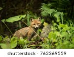 portrait of cute young red fox. ... | Shutterstock . vector #762369559
