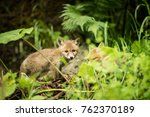 family of red fox cubs playing... | Shutterstock . vector #762370189