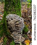 Turkey Tail Fungus Growing On...