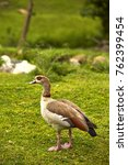 Egyptian Goosey Goose