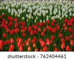 striped tulip with red and... | Shutterstock . vector #762404461