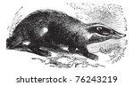 european badger also known as... | Shutterstock .eps vector #76243219