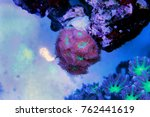 Small photo of Micromussa lps coral in aquarium reef tank