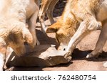 Dingo Dogs Are Native Dogs In...