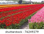 Multi Colored Tulip Field In...