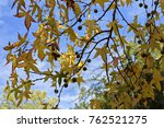 Small photo of Golden Fall Leaves and Tree Nuts