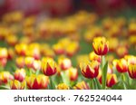 Red Yellow Tulips With...