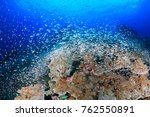 Small photo of Thousands of tiny Glassfish swarm around a healthy tropical cora