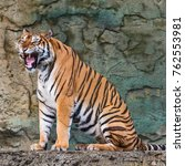 Small photo of Tiger sitting and roaring in the forest.