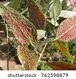 Small photo of Eucalyptus leaves damaged by a gall wasp Ophelimus maskelli (Hymenoptera: Eulophidae) is a one of main pests of eucalyptus trees.