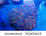 Small photo of Australian Acanthastrea lordhowensis coral
