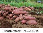 harvesting sweet potatos | Shutterstock . vector #762611845