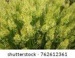Small photo of spear grass (Achnatherum calamagrostis)