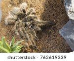 Spider Tarantula Curly. Curly...