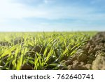 young green wheat growing in... | Shutterstock . vector #762640741