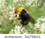 Small photo of Close-up of a bumblebee. Bumblebee gathers nectar from the white flowers of the angelica, selineae. Honey plants and insects. Bumblebee or bumble bee, genus Bombus, Apidae, one of the bee families