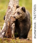 Small photo of Young Eurasian brown bear (Ursus arctos arctos) hiding behind a tree and holding a front paw on the tree in the forest of Finland in summer.