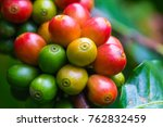 coffee beans ripening on coffee ... | Shutterstock . vector #762832459