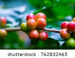coffee beans ripening on coffee ... | Shutterstock . vector #762832465