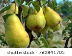 close up of big ripe pears... | Shutterstock . vector #762841705