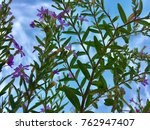 false heather or elfin herb... | Shutterstock . vector #762947407