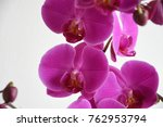 magenta and white orchid flower | Shutterstock . vector #762953794