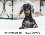 Stock photo cute dog dachshund black and tan takes a bath with soap foam wearing a bathing cap 762960991