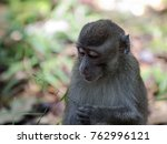 A Wild Long Tailed Macaque...