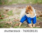 the serious spitz is staying in ... | Shutterstock . vector #763028131