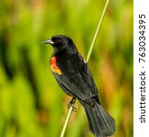 Small photo of a Red-winged Blackbird (Agelaius phoeniceus) perched on a reed at Green Cay Wetlands, Delray Beach, Florida USA