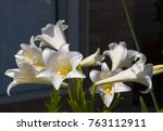 glorious lilium candidum ... | Shutterstock . vector #763112911