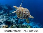 Stock photo green sea turtle swimming above a coral reef closeup sea turtles are becoming threatened due to 763135951