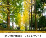 ginkgo tree leaf in autumn... | Shutterstock . vector #763179745