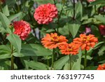 red shades zinnias  | Shutterstock . vector #763197745
