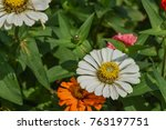 bloom white zinnias   | Shutterstock . vector #763197751