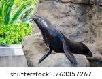 Californian Sea Lion Show...