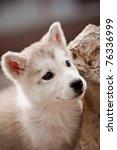 alaskan malamute  puppies   Shutterstock . vector #76336999