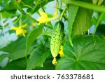 young plant cucumber with... | Shutterstock . vector #763378681
