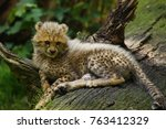 Small photo of Cheetah, Acinonyx jugatus, juvenile is lying on log